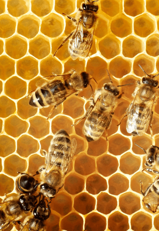 Halacha and the Honeybee